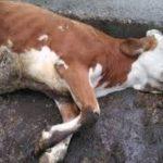 Purchè la mucca non muoia…